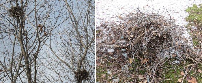 カラスの巣と落果巣u