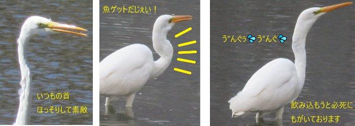 中島公園のダイサギ201904u