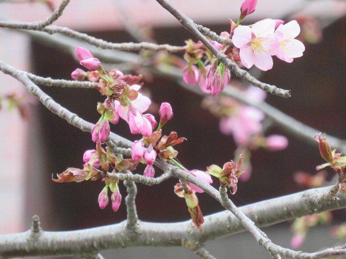 20190424中島公園桜1