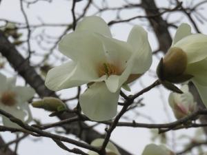 20190424中島公園キタコブシ