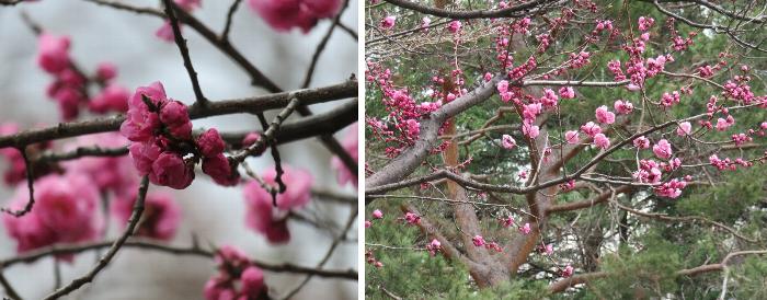 201904中島公園 梅