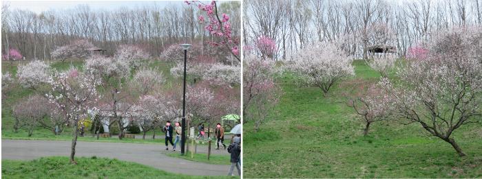 20190502平岡公園梅まつり
