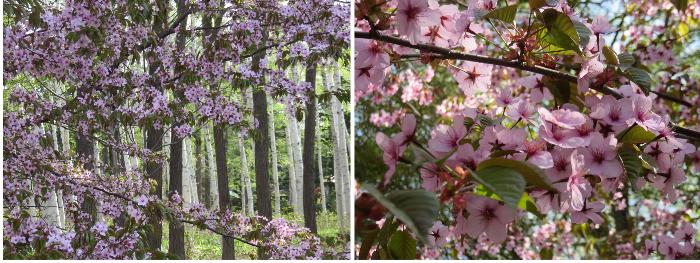 20190502豊平公園桜