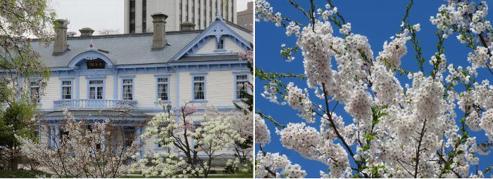 201905中島公園桜