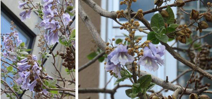 20190522平岸の桐の花