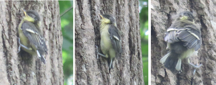 シジュウカラのヒナちゃん木を登る
