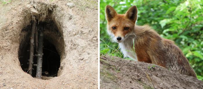 キツネの巣穴?