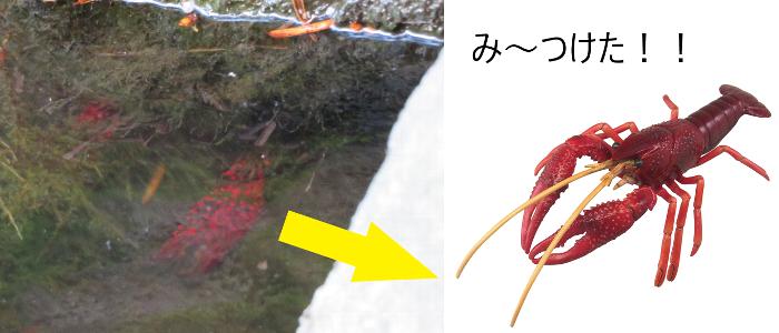 20190814道庁池ザリガニ