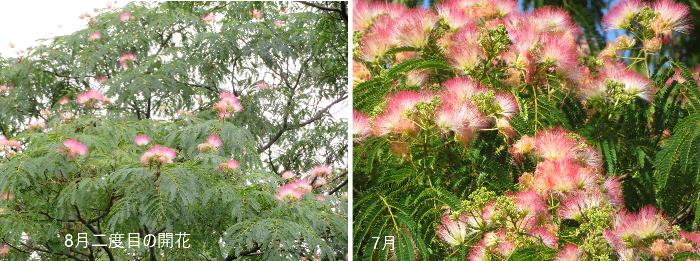 201908中島公園ネムノキ