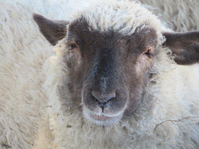 20190910さとらんど羊