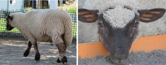 20190910さとらんと羊