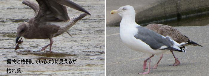 20190922豊平川カモメ