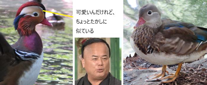 201909円山公園オシドリ