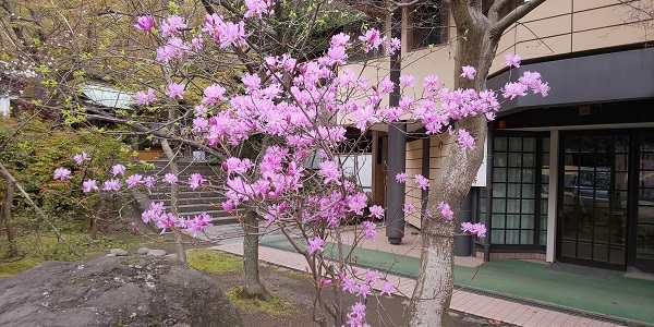 鎌倉宮のつつじ