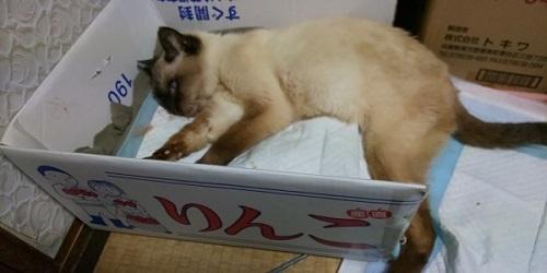 リンゴ箱に寝た切りのクーちゃん