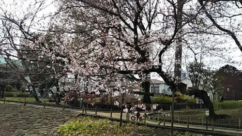 2019桜2