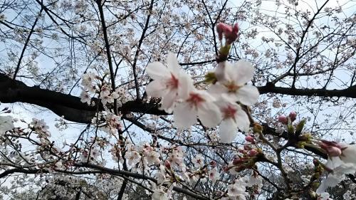 2019桜3