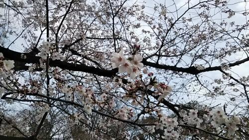 2019桜4