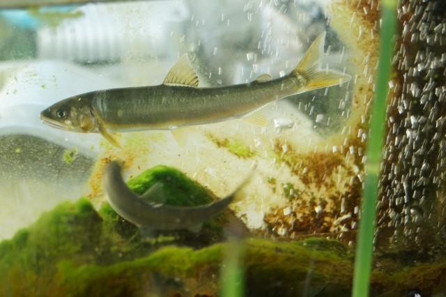 綺麗な水の中を泳ぐ多摩川で獲れた鮎