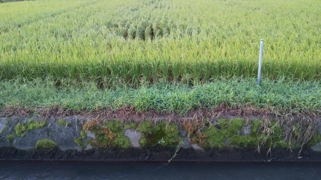 台風15号で若干倒された稲
