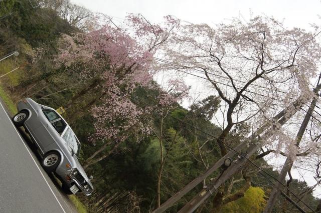 ルーチェと上恩方の桜