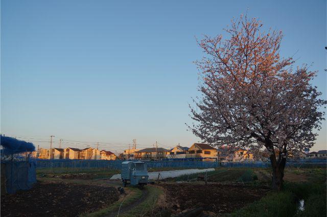 近所の畦道と桜とベスパカー・アペ