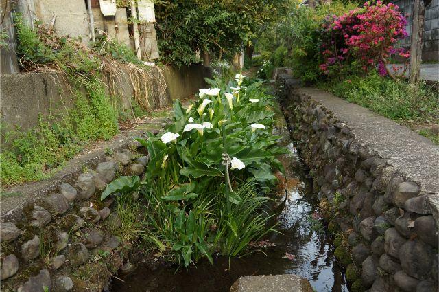 お鷹の道・真姿の池湧水群で見つけた水芭蕉のようなカラー