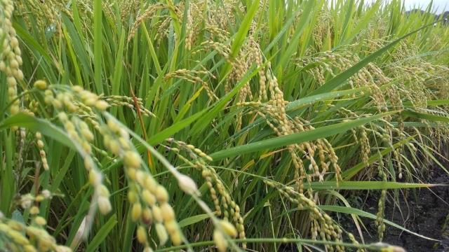 秋川の今年の稲