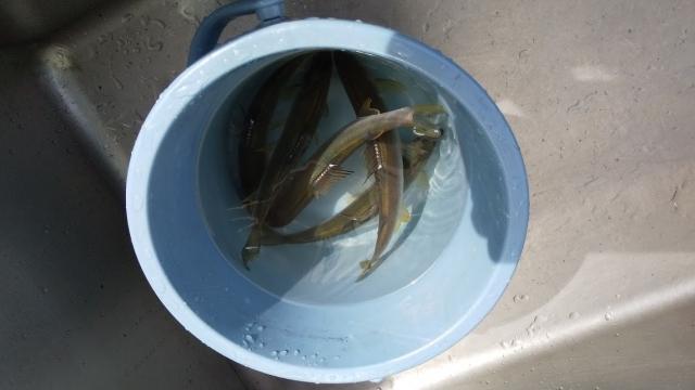 捕まえた魚たち