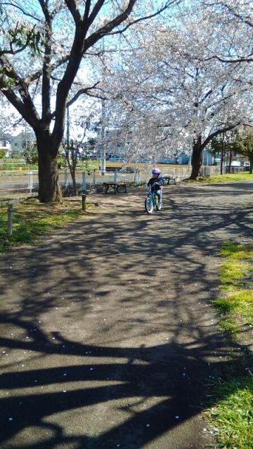 万願寺中央公園の桜の木の下を自転車で走る
