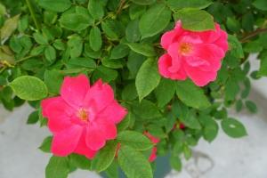 バラ満開3