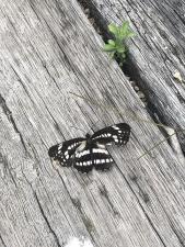 落ちた蝶2