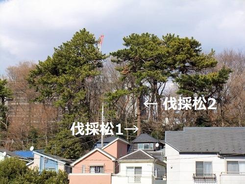 190314pine_tree_mae