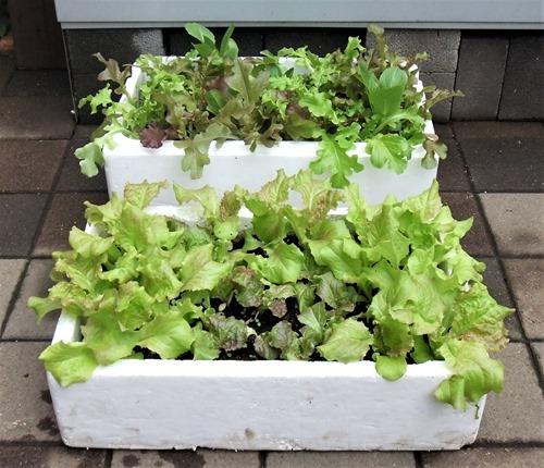 190501leaf_lettuce