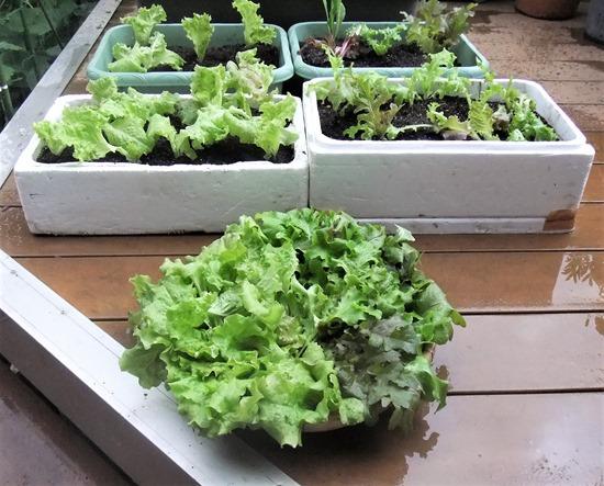 190514leaf_lettuce2