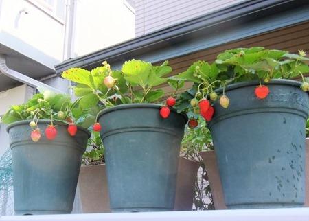 190606strawberry