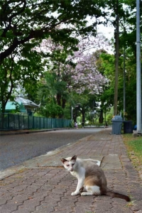 Thai Sakura Cat
