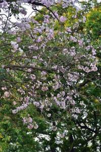 Pink Trumpet Tree Flowers