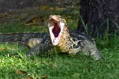 Water Monitor Lizard