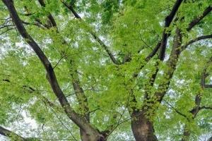 Keyaki Green