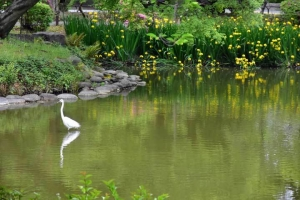 Great Egret and Yellow Iris