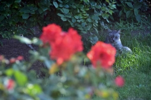 Gure The Cat and Roses