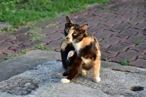 Bangkok Cat