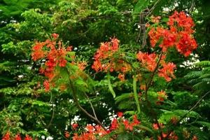 Delonix regia (Flame Tree, Flamboyant, Royal poinciana)