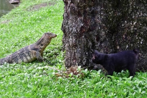 Water Monitor Lizard and Bangkok Cat