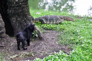 Bangkok Cat and Water Monitor Lizard