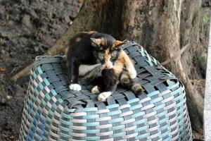 Bangkok Cat and Basket