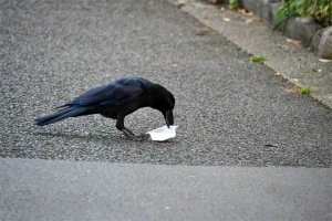 Crow and a cup of milk