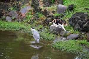 Myi The Cat and Grey Heron