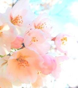 DSCN9797-プロフ桜